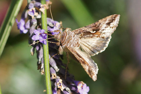 Silver Y (Autographa gamma)  Family Noctuidae or Owlet moths