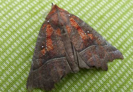 The Herald (Scoliopteryx libatrix)  Family Noctuidae or Owlet moths.