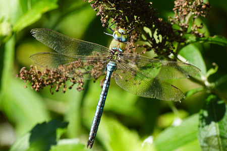 Emperor Dragonfly, Blue Emperor (Anax imperator). Family Hawkers, darners (Aeshnidae).