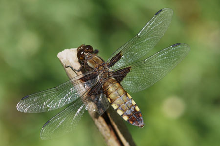 Broad-bodied Chaser (Libellula depressa) female Family Libellulidae