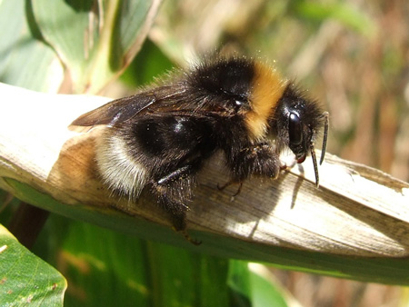 Bombus bohemicus (Probably, I am not quite sure)