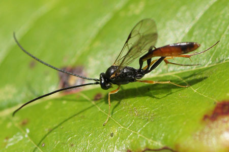 Subfamilie Campopleginae. Maybe Casinaria spec. Family Ichneumon wasps, Ichneumonidae.
