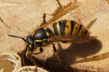 Common wasp (Vespa vulgaris). queen Family Social Wasps (Vespidae).�