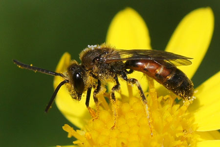 Lasioglossum calceatum or Lasioglossum albipes. Family Halictidae. male