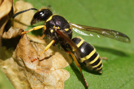 Ancistrocerus spec. Subfamily Potter Wasps (Ancistrocerus). Family Social Wasps (Vespidae).