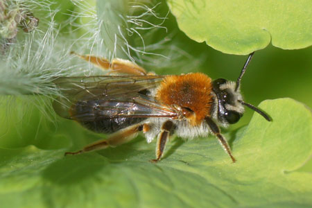 Early Mining Bee (Andrena haemorrhoa). Family Mining Bees (Andrenidae). Female.