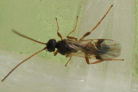A wasp from the subfamily Microgastrinae. Family Braconidae.