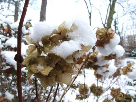 The dried flowers of the hortensia are also beautiful in winter.