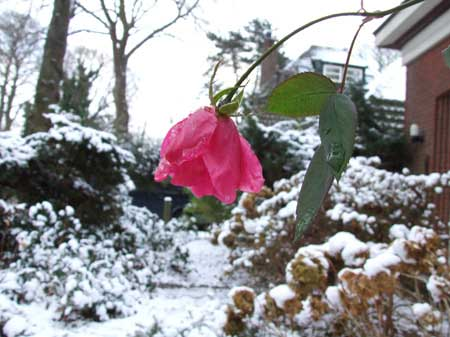 Each winter a rose is still flowering.�
