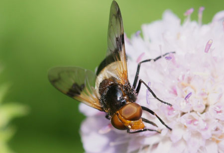 White-banded Drone Fly (Volucella pellucens)  /  Field Scabious (Knautia Arvensis)