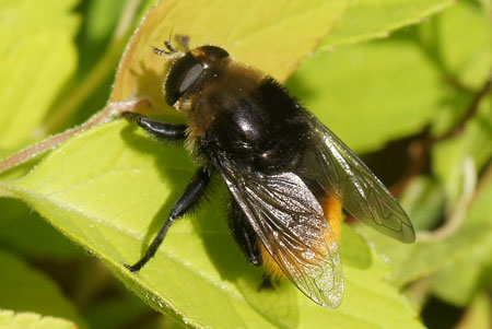 Narcissus fly, Greater bulb fly (Merodon equestris). Genus: Merodon.