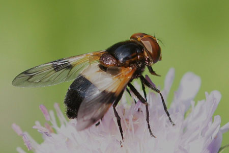 White-banded Drone Fly (Volucella pellucens) Genus: Volucella